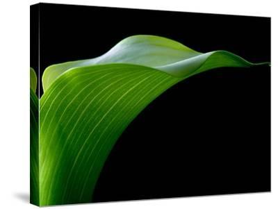 Majestic Leaf 1-Doug Chinnery-Stretched Canvas Print
