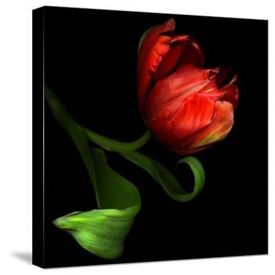 Parrot Tulip-Magda Indigo-Stretched Canvas Print