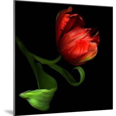 Parrot Tulip-Magda Indigo-Mounted Photographic Print