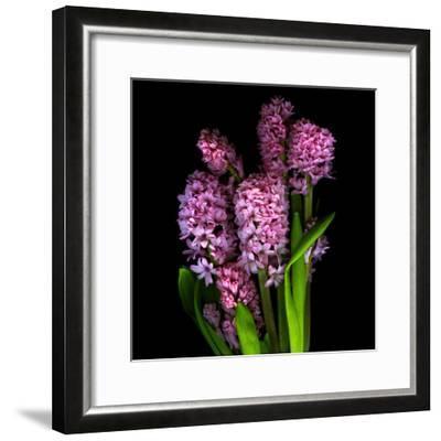 Pinkalicious  Hyacynths-Magda Indigo-Framed Photographic Print