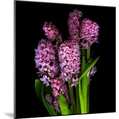 Pinkalicious  Hyacynths-Magda Indigo-Mounted Photographic Print