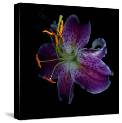 Lilly's Pollen-Magda Indigo-Stretched Canvas Print