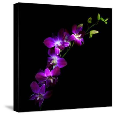 Purple Dendrobium Orchids-Magda Indigo-Stretched Canvas Print
