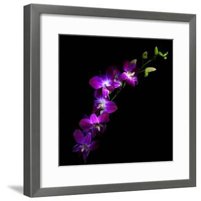 Purple Dendrobium Orchids-Magda Indigo-Framed Photographic Print