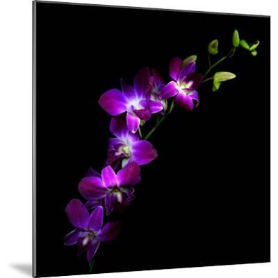 Purple Dendrobium Orchids-Magda Indigo-Mounted Photographic Print