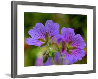 Cranesbill Geranium-Magda Indigo-Framed Photographic Print