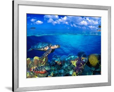 Stoplight Parrotfish (Sparisoma Viride) with French Angelfish (Pomacanthus Paru) and Scrawled Fi...--Framed Photographic Print