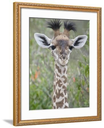 Close-Up of a Baby Giraffe (Giraffa Camelopardalis), Tanzania--Framed Photographic Print