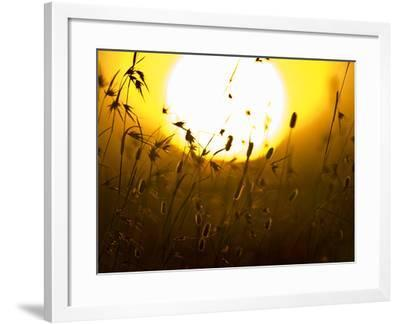 Silhouette of Grass at Sunrise, Tanzania--Framed Photographic Print