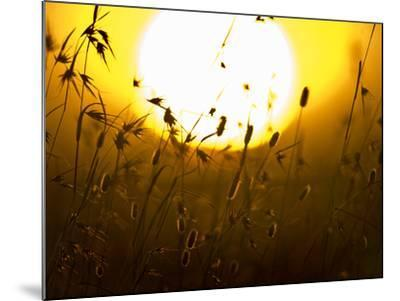 Silhouette of Grass at Sunrise, Tanzania--Mounted Photographic Print