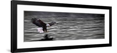 Eagle over Water--Framed Photographic Print