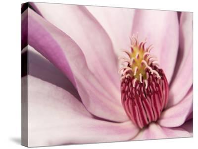 Close Up of a Pink Tulip Magnolia Flower, Magnolia Liliflora-Darlyne A^ Murawski-Stretched Canvas Print