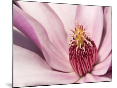 Close Up of a Pink Tulip Magnolia Flower, Magnolia Liliflora-Darlyne A^ Murawski-Mounted Photographic Print