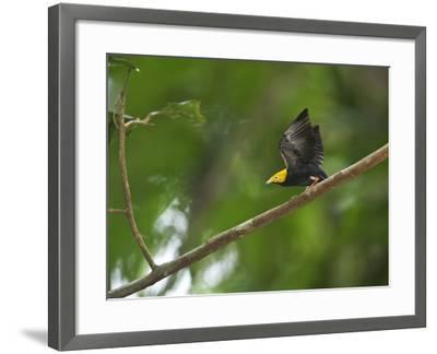 A Male Golden-Headed Manakin Moves its Wings Silently-Tim Laman-Framed Photographic Print