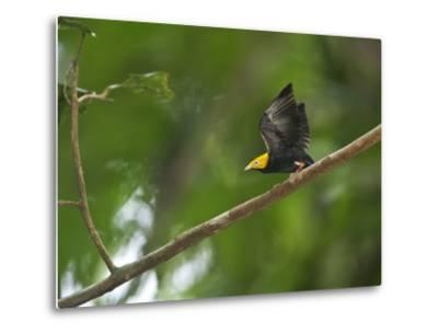 A Male Golden-Headed Manakin Moves its Wings Silently-Tim Laman-Metal Print