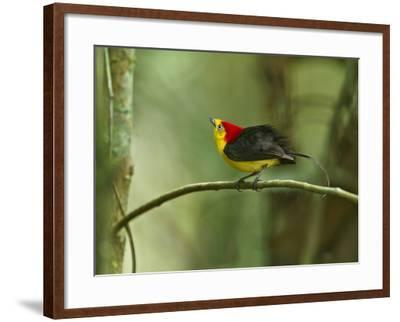 The Wire-Tailed Manakin, on His Display Perch, Courts a Female-Tim Laman-Framed Photographic Print