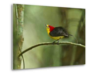 The Wire-Tailed Manakin, on His Display Perch, Courts a Female-Tim Laman-Metal Print