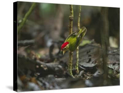 The Striped Manakin Makes a Simple Buzzing Sound with its Wings-Tim Laman-Stretched Canvas Print