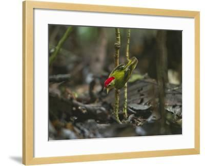 The Striped Manakin Makes a Simple Buzzing Sound with its Wings-Tim Laman-Framed Photographic Print