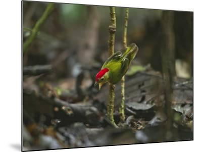 The Striped Manakin Makes a Simple Buzzing Sound with its Wings-Tim Laman-Mounted Photographic Print