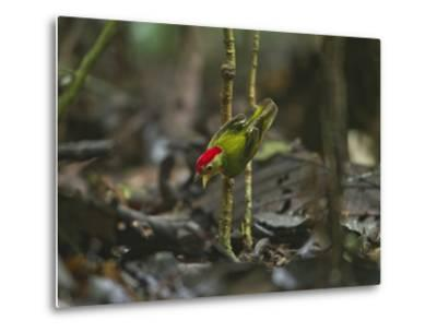 The Striped Manakin Makes a Simple Buzzing Sound with its Wings-Tim Laman-Metal Print