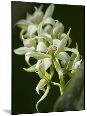 Orchid Flowers at a Botanical Garden in Costa Rica-Michael Melford-Mounted Photographic Print