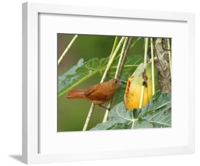 A Female White-Lined Tanager, Tachyphonus Rufus, Eating a Papaya-George Grall-Framed Photographic Print