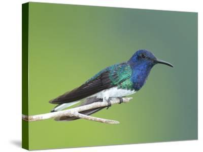A White-Necked Jacobin, Florisuga Mellivora, Perched on a Tree Branch-George Grall-Stretched Canvas Print