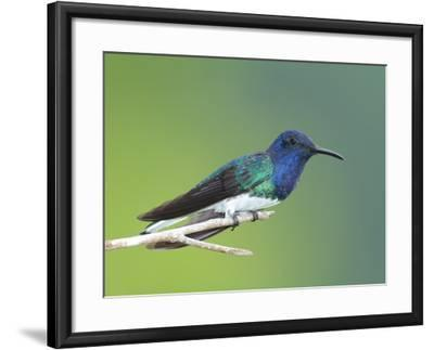 A White-Necked Jacobin, Florisuga Mellivora, Perched on a Tree Branch-George Grall-Framed Photographic Print