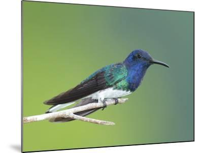 A White-Necked Jacobin, Florisuga Mellivora, Perched on a Tree Branch-George Grall-Mounted Photographic Print