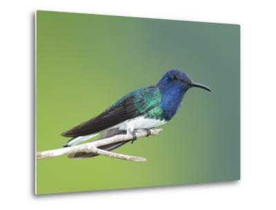 A White-Necked Jacobin, Florisuga Mellivora, Perched on a Tree Branch-George Grall-Metal Print