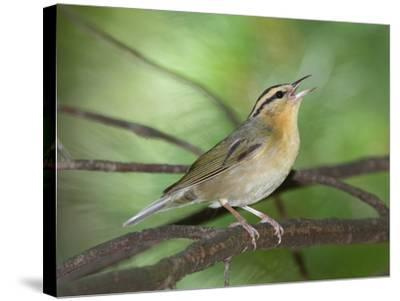 A Male Worm-Eating Warbler Singing a Territorial Song-George Grall-Stretched Canvas Print