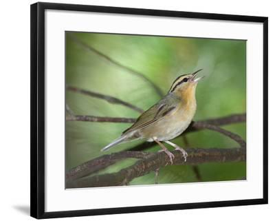 A Male Worm-Eating Warbler Singing a Territorial Song-George Grall-Framed Photographic Print