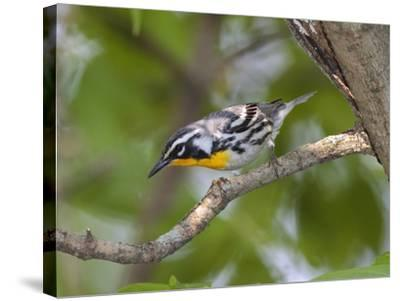 A Male Yellow-Throated Warbler, Dendroica Dominica, on a Tree Branch-George Grall-Stretched Canvas Print