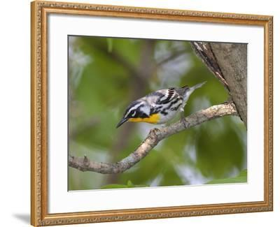 A Male Yellow-Throated Warbler, Dendroica Dominica, on a Tree Branch-George Grall-Framed Photographic Print