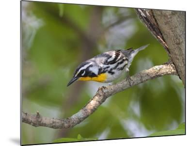 A Male Yellow-Throated Warbler, Dendroica Dominica, on a Tree Branch-George Grall-Mounted Photographic Print