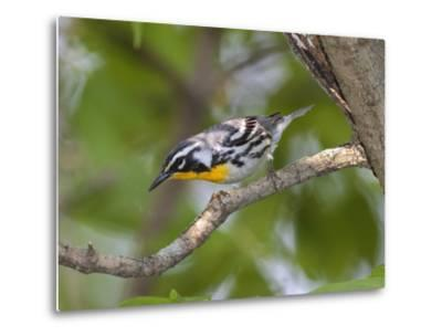 A Male Yellow-Throated Warbler, Dendroica Dominica, on a Tree Branch-George Grall-Metal Print