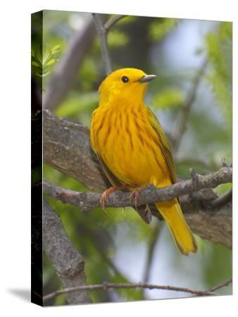 A Male Yellow Warbler, Dendrica Petechia, Perched on a Tree Branch-George Grall-Stretched Canvas Print