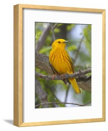 A Male Yellow Warbler, Dendrica Petechia, Perched on a Tree Branch-George Grall-Framed Photographic Print