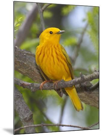 A Male Yellow Warbler, Dendrica Petechia, Perched on a Tree Branch-George Grall-Mounted Photographic Print