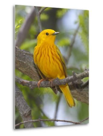 A Male Yellow Warbler, Dendrica Petechia, Perched on a Tree Branch-George Grall-Metal Print