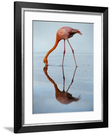 An American Flamingo and its Mirror Reflection in Blue Water-Joel Sartore-Framed Photographic Print