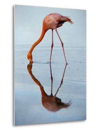 An American Flamingo and its Mirror Reflection in Blue Water-Joel Sartore-Metal Print