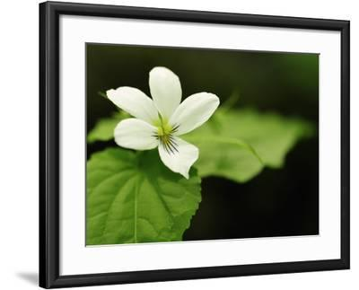 Close Up of a Canada Violet, Viola Canadensis, in Spring-Darlyne A^ Murawski-Framed Photographic Print
