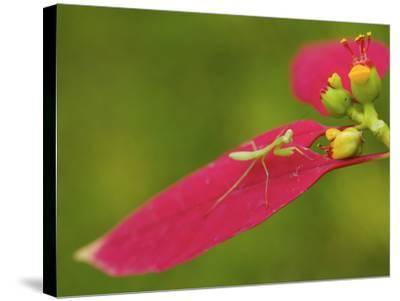 A Juvenile Praying Mantis Hunting on a Euphorbia Plant-Tim Laman-Stretched Canvas Print