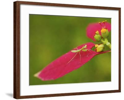 A Juvenile Praying Mantis Hunting on a Euphorbia Plant-Tim Laman-Framed Photographic Print