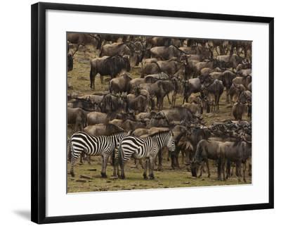 Migrating Burchell's Zebras and Wildebeests-Beverly Joubert-Framed Photographic Print