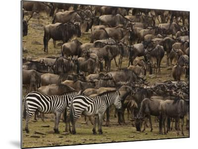 Migrating Burchell's Zebras and Wildebeests-Beverly Joubert-Mounted Photographic Print