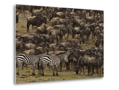 Migrating Burchell's Zebras and Wildebeests-Beverly Joubert-Metal Print