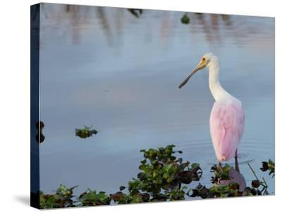 Roseate Spoonbill, Ajaia Ajaja, Foraging in the Shallows-Paul Sutherland-Stretched Canvas Print